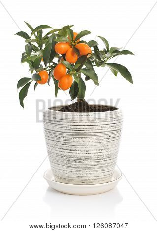 Kumquat Tree  In Flowerpot