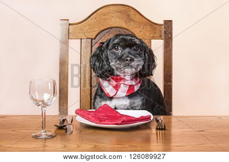 Dog waits for his food,  A concept image of a mixed poodle and lhasa apso sits patiently at the dinner table.
