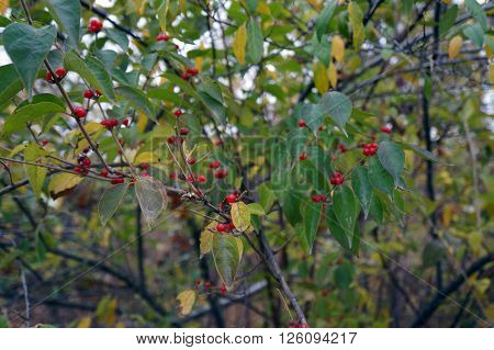 The red berries of the Amur honeysuckle (Lonicera maackii), also called the overgrowing choke plant, during October in the Lake Renwick Heron Rookery Nature Preserve in Plainfield, Illinois.