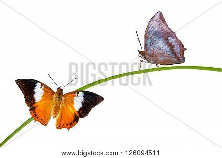 Isolated Tawny Rajah butterfly with clipping path