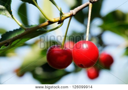 Branch with ripe cherry over blue sky background
