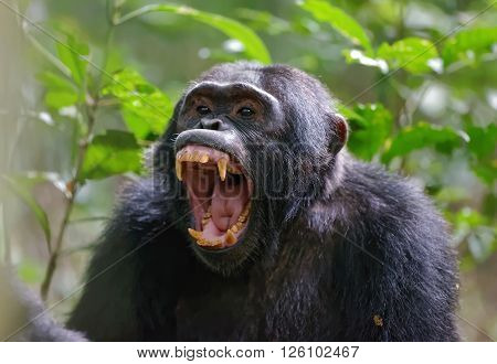 Chimpanzees (sometimes called chimps) are one of two exclusively African species of great ape that are currently extant