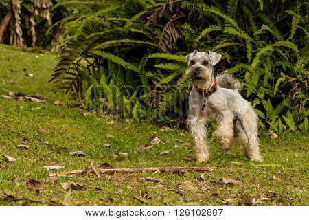 Gray schnauzer with a tail on a green field raising its paw