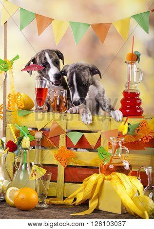 whippet puppy bartending  in the bar lemonade