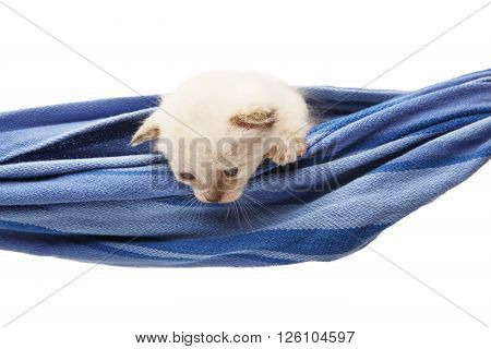 White kitten in a hammock. Cute white kitten in a blue hammock having rest, look down curious, isolated at white. Adorable pet. Small heartwarming kitten. Little cat. Animal isolated. High key