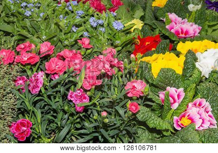 Gillyflowers and other spring flowers in a nursery.