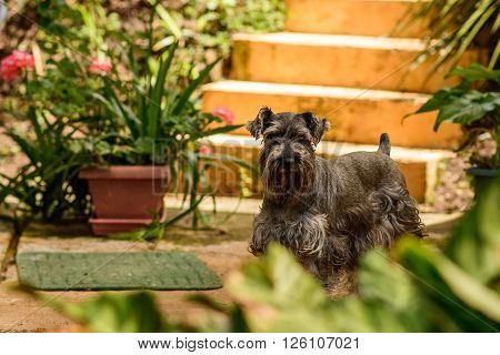 Dark Gray Schnauzer dog standing in a garden
