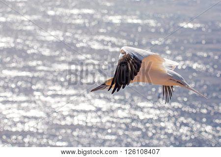 Flying Northern Gannet, Helgoland Germany