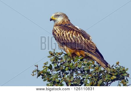 The red kite is a medium-large bird of prey in the family Accipitridae.