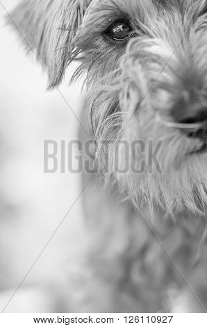 black and white Schnauzer dog close up view