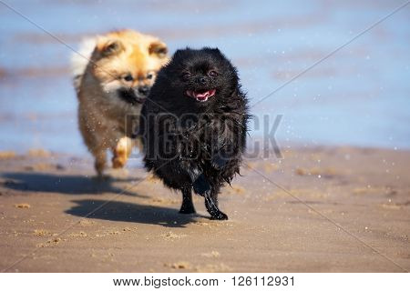 happy spitz dogs playing on the beach