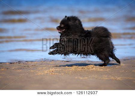 happy spitz dog running on the beach