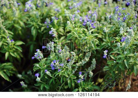 Blue salvia in the garden at Thaland