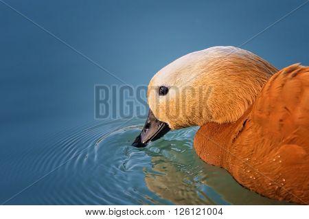 portrait of Ruddy shelduck on the lake