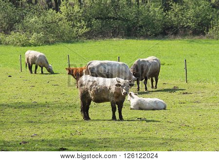 group of adult cows and calves on the pasture