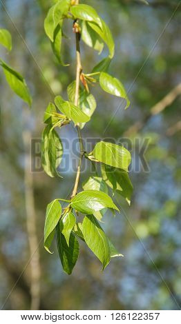 close photo of a twig of an elm with fresh green leaves in spring