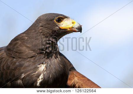 head of harris hawk with bloody meat on beak against blue sky