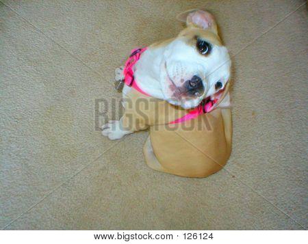 Puppy Pit Bull