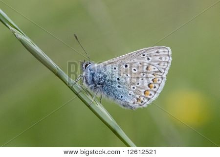 Common Blue Butterfly on Long Grass at Night