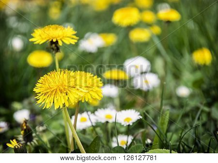 Yellow dandelions and ox-eye daisies in the meadow. Close up natural scene.