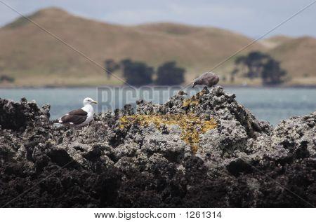 Gulls 01