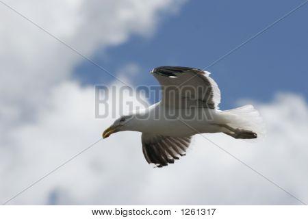 Gulls 04