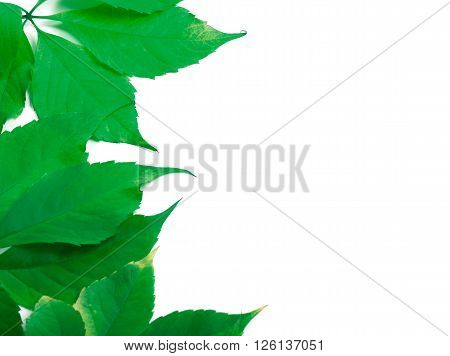 Green leaves isolated on white background with copy space. Virginia creeper leaves.