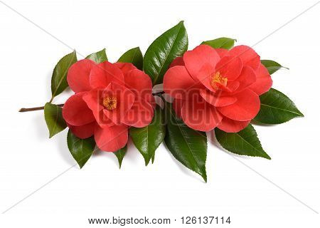 Two red camellia flowers isolated on white background