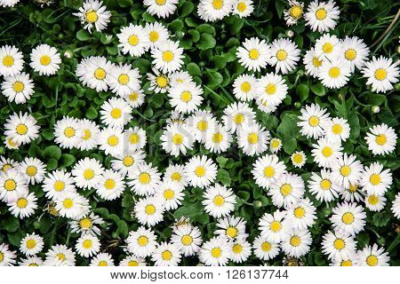 Background of white ox-eye daisies in spring meadow. Seasonal natural scene.