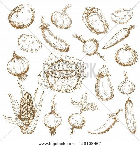 Autumn harvest retro sketches of cabbage, potatoes, tomatoes, heads of garlic, eggplants, onions, corn cob, cucumber, beets, carrot, cayenne and bell peppers vegetables. Agriculture, farming, greengrocer market, vegetarian food theme design usage