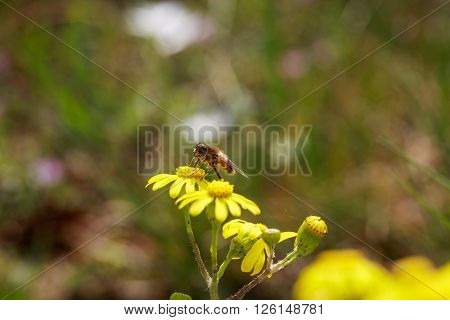 Honeybee on wild yellow flowers closeup