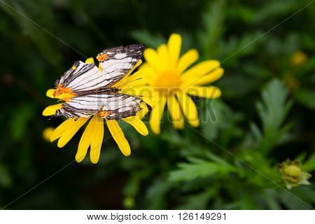 Tropical butterfly feeds on flower nectar