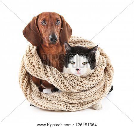 Cat and dachshund in knitted scarf, isolated on white.