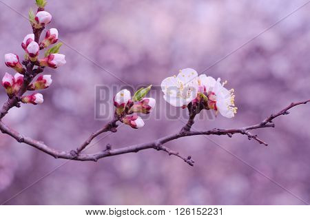 Macro shot of a branch of slightly blurred beautiful apricot flowers flowing in the wind (selective focus on the buds and flowers shallow DOF) in the morning mist in pink tones