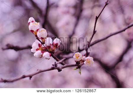 Macro shot of beautiful apricot flowers in the morning mist (selective focus shallow DOF) in pink tones