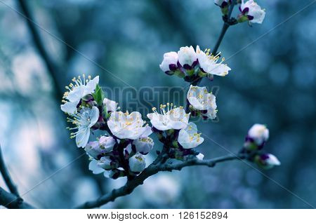 Macro shot of slightly blurred beautiful apricot flowers in the evening in dark blue tones (selective focus shallow DOF)