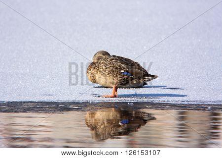 The Mallard sleeping on ice. This Mallard is sleeping on ice on a spring day
