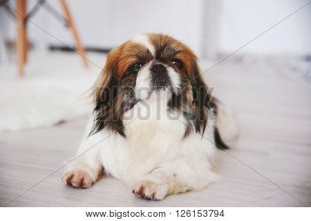 Cute dog lying on wooden floor indoors
