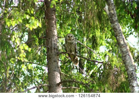 Monitoring Ural Owl. This Ural Owl is closely monitoring the environment  and possible moles