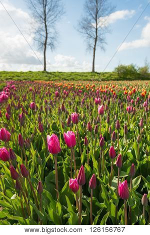 Pinks buds and flowers of tulip bulbs in front of a Dutch dike with bare trees.