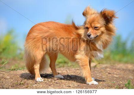 Dog breed long-Haired Chihuahua. Dog red color. a nature walk.