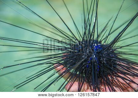 The sea urchin is sitting on my hand. The Gulf of Thailand.