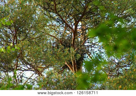 Ravens nest on top of the tree. This ravens nest has been made on  top of the tree