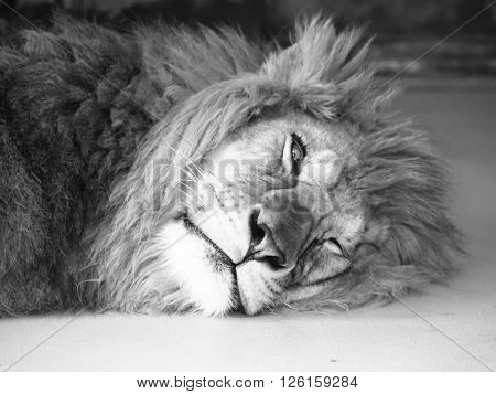 Tired male lion lying on a ground with one eye open. Black and white image.