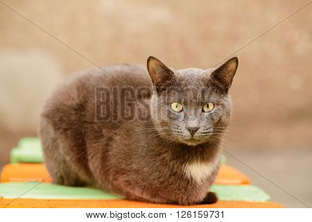 Beautiful calm grey cat sitting on the bench and looking at camera, copy space