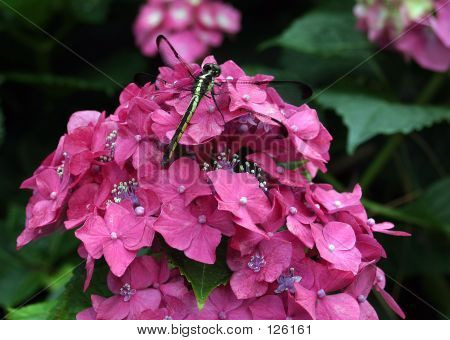 Dragonfly On A Hydrangea Close-up