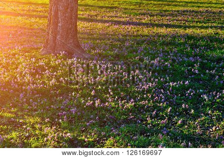 Forest sunset landscape - flower carpet of blooming Corydalis halleri under the tree in the forest. Soft filter applied.