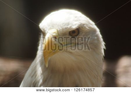 A large wild Bald Eagle - Haliaeetus leucocephalus