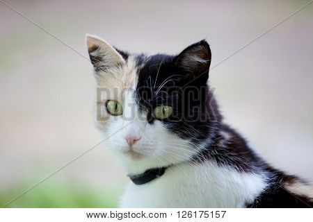 Beautiful calico cat looking to the camera