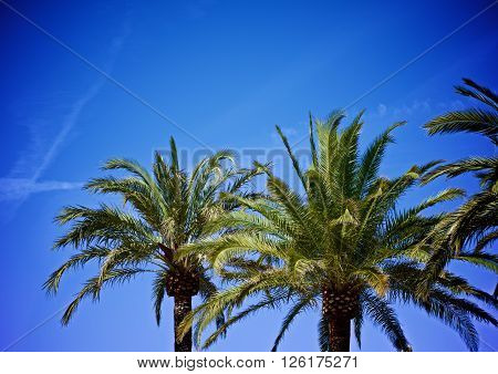 Beauty Palm Trees in Sunny Day on Bright Blue Sky background Outdoors